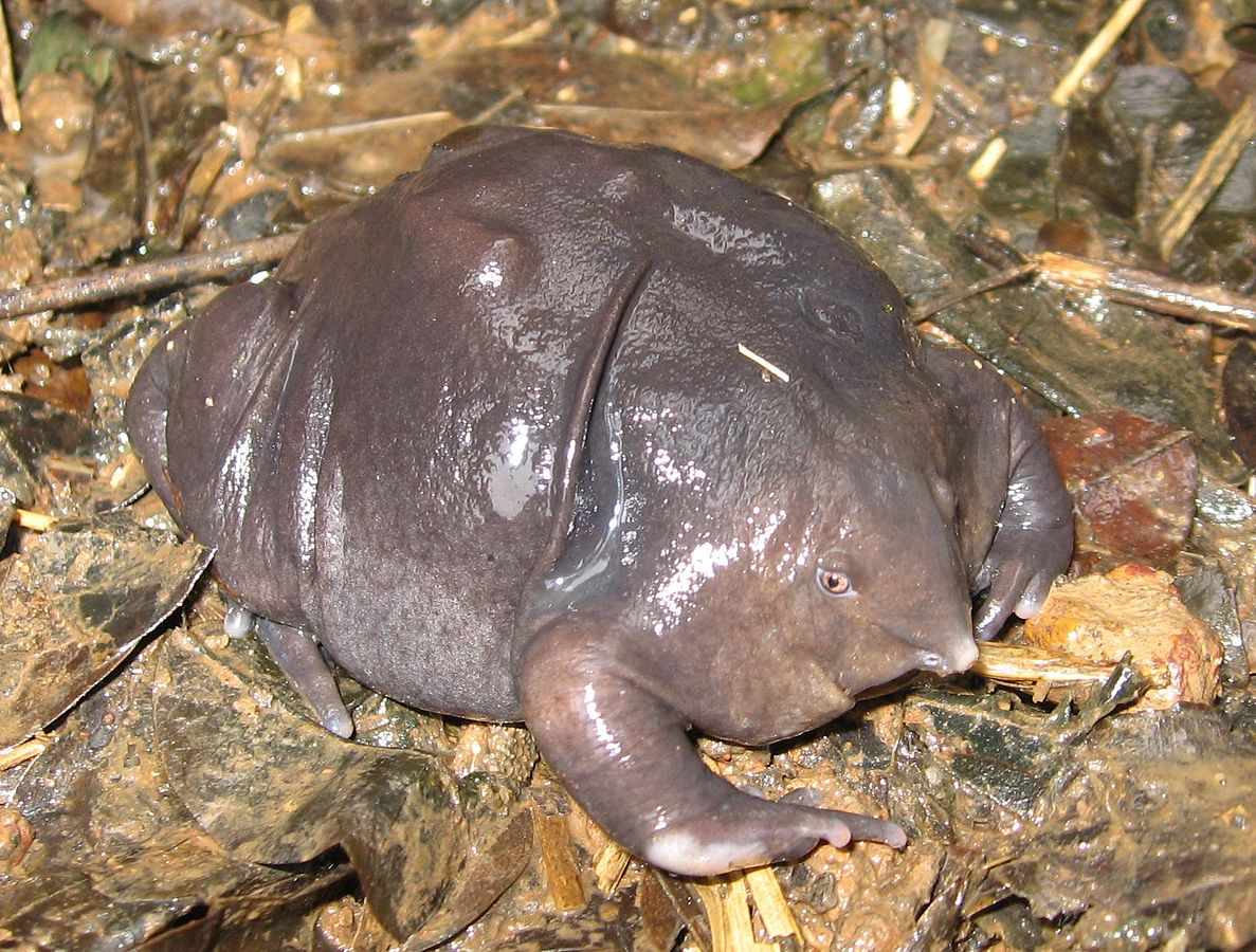 Strange Indian Purple Frog Facts Pictures And Videos