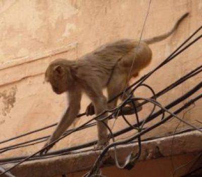 Monkey Saves Electrocuted Monkey Friend in Railway Station
