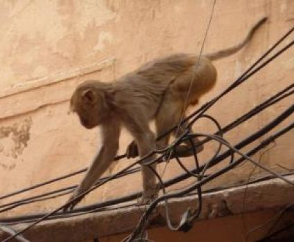 Monkey Saves Electrocuted Monkey Friend in Railway Station