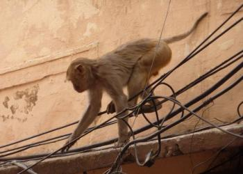 Monkey Saves Electrocuted Monkey Friend