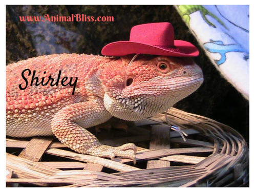 Shirley is a Bearded Dragon, owned by Jeanne Melanson, founder of Animal Bliss.