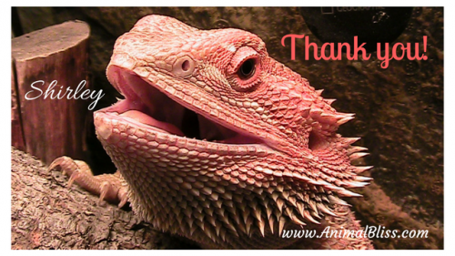 Shirley the Bearded Dragon, owned by Jeanne Melanson, Founder of Animal Bliss.