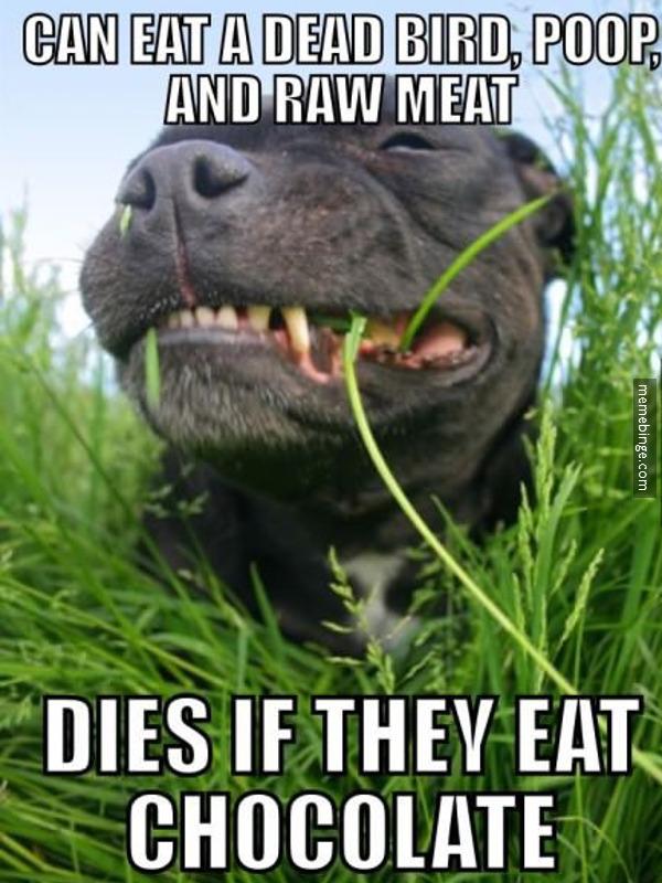 Dog Eat Chocolate Meme