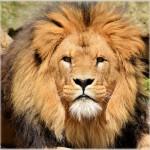 Lion Whisperer Kevin Richardson, How Does He Do It?