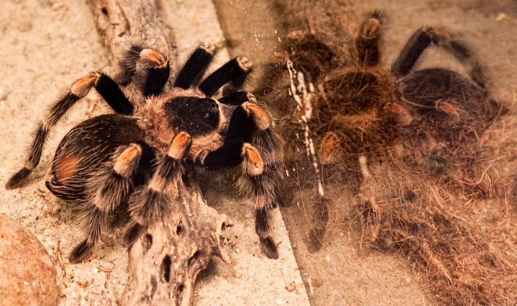 Tarantulas as Pets, What Makes the Tarantula a Great Pet?