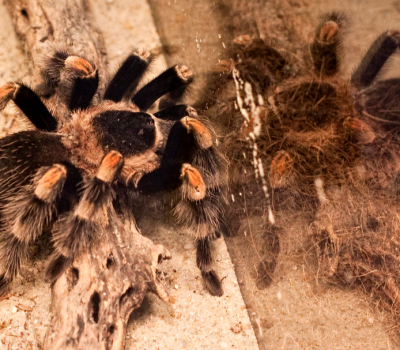 Tarantulas as Pets, What Makes the Tarantula a Great Pet?