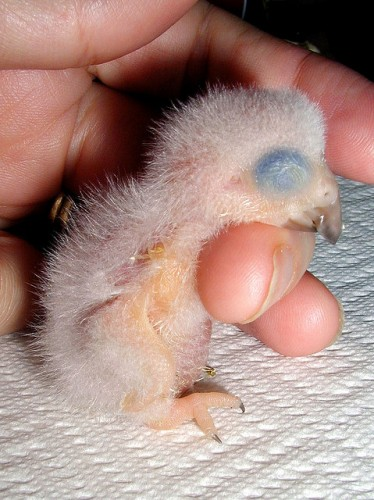African Grey Parrot Hatchling - one day old - www.AnimalBliss.com