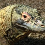Crazy Komodo Dragon Facts, Largest Lizard in the World