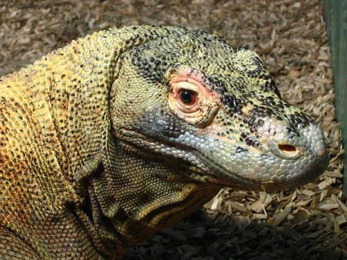 Komodo Dragon Facts