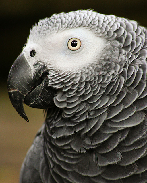 Things You Should Know About African Grey Parrots Diet