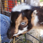 The Life of Frankie the Baby Goat, by Melody Joy