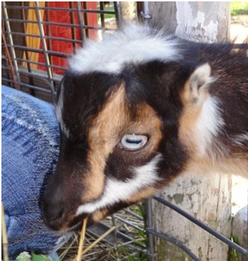 The Life of Frankie the Baby Goat