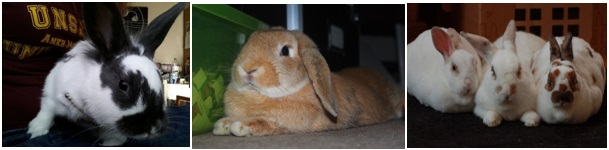Things You Need to Know Before Buying a Pet Rabbit