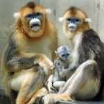 Tonkin Snub-Nosed Monkey Facts, Endangered Primates