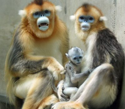 Tonkin Snub-Nosed Monkey Facts, Endangered Primates