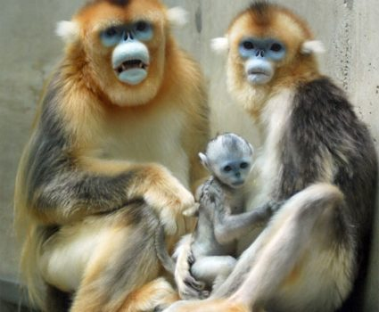 Tonkin Snub-Nosed Monkey Facts