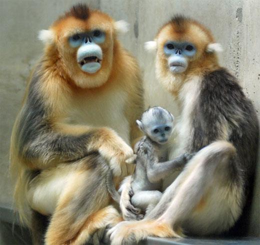Tonkin Snub-Nosed Monkey Facts