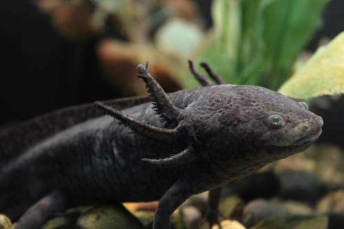 Axolotl Salamander: A-Z Collection of Animals Challenge