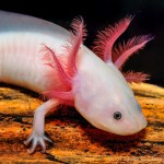 A is for Axolotl Salamander: A-Z Collection of Animals