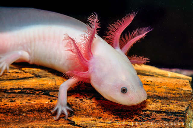 A is for Axolotl Salamander : A-Z Collection of Animals Challenge