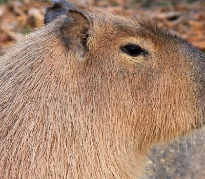 C is for Cool Capybara Facts : A-Z Collection of Animals