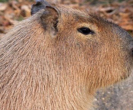 Cool Capybara Facts : A-Z Collection of Animals