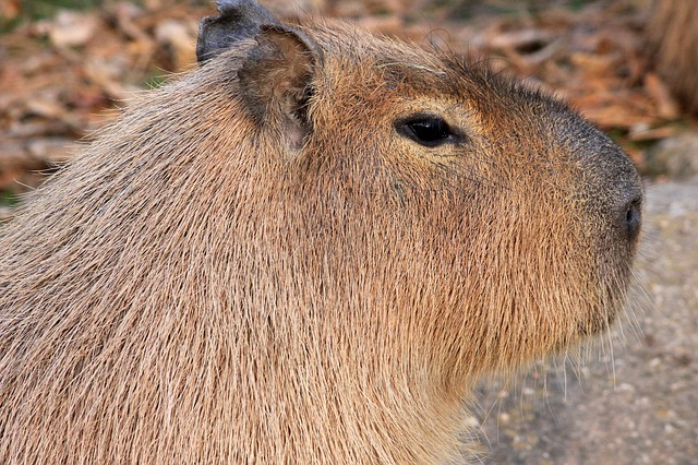 Cool Capybara Facts