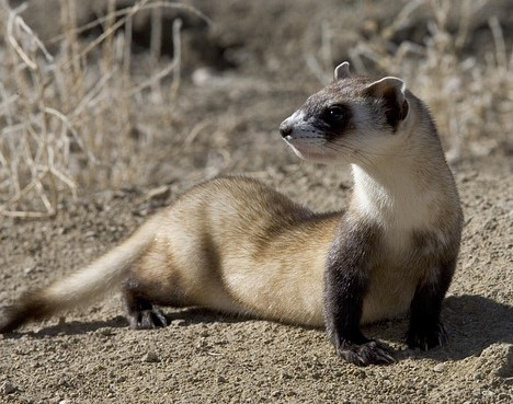 Do ferrets make good pets? There are things you should know.