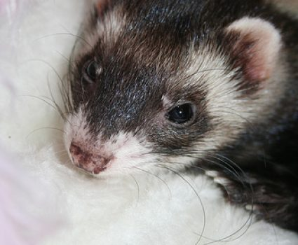 Do Ferrets Make Good Pets?  Things You Should Know First
