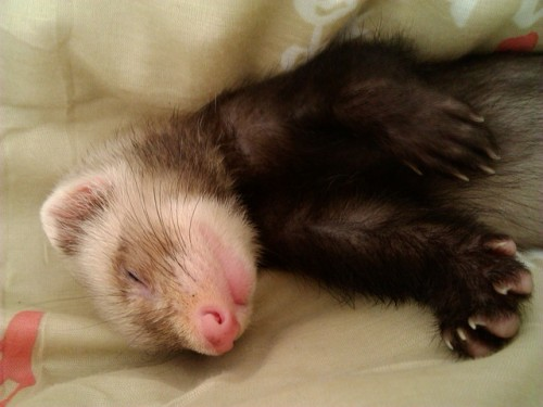 Do ferrets make good pets? There are things you should know