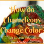 How do Chameleons Change Color?  Their Secrets Revealed