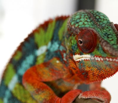 How do Chameleons Change Color?  Their Secrets Revealed