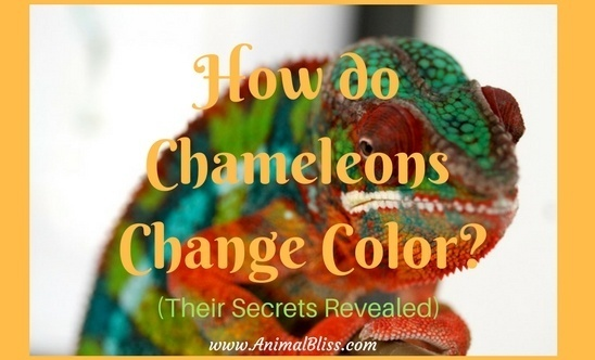 How do chameleons change color? (Their Secrets Revealed)