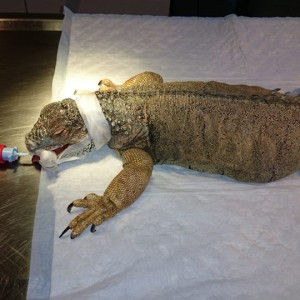 True Story About an Egg Bound Iguana Named Kerne