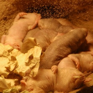 12 Naked Mole Rat Facts, Did you know?