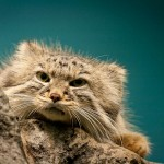 Rare Pallas Cat Facts, Beautifully Wild Feline, aka Manul