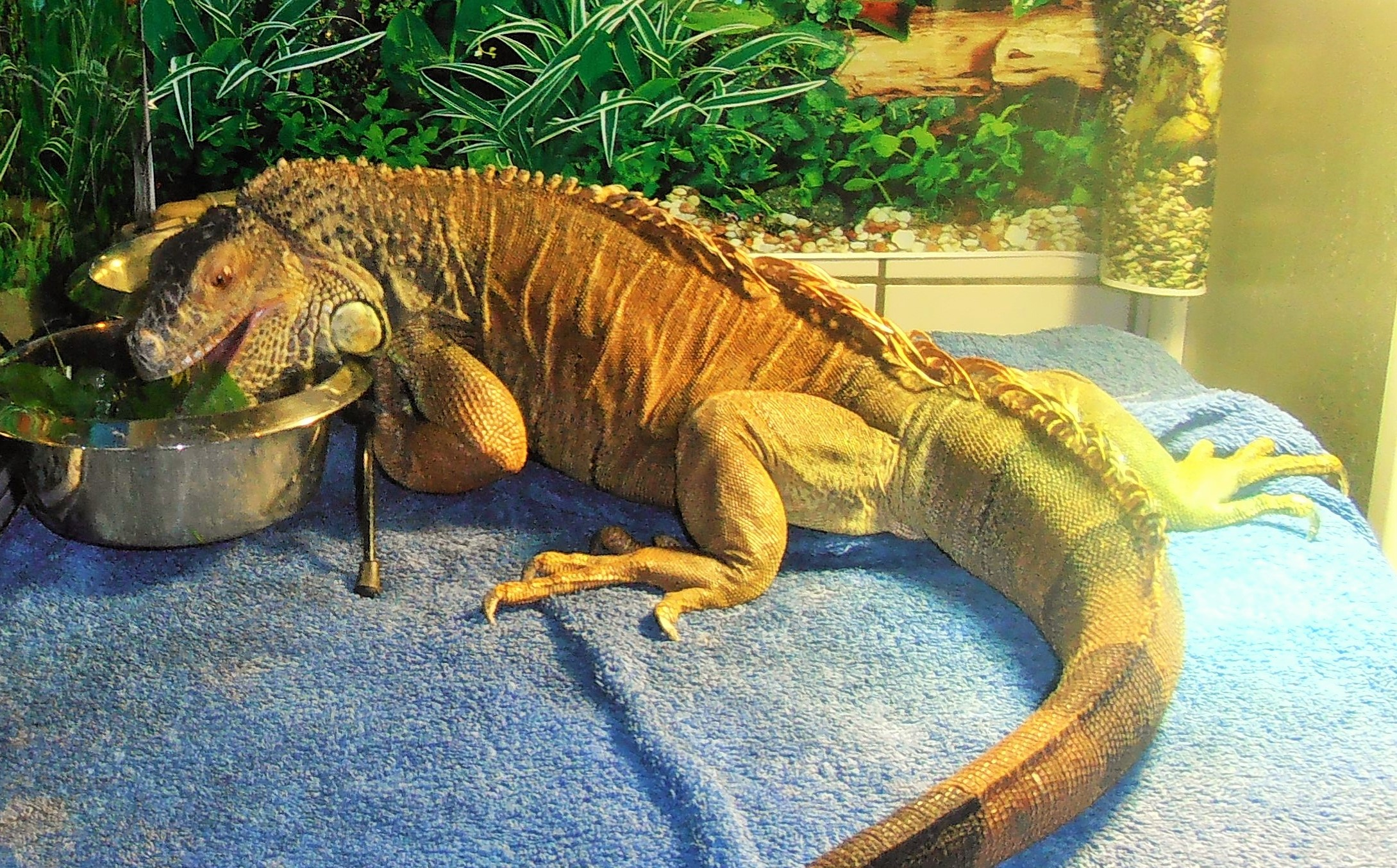 This is a true story about an 11 year old egg bound Iguana named Kerne.