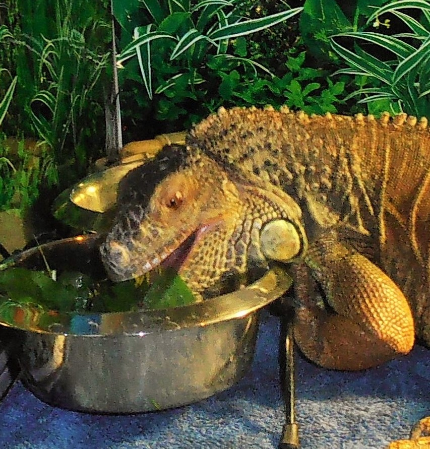 This is a true story about an 11 year old egg bound Iguana named Kerne