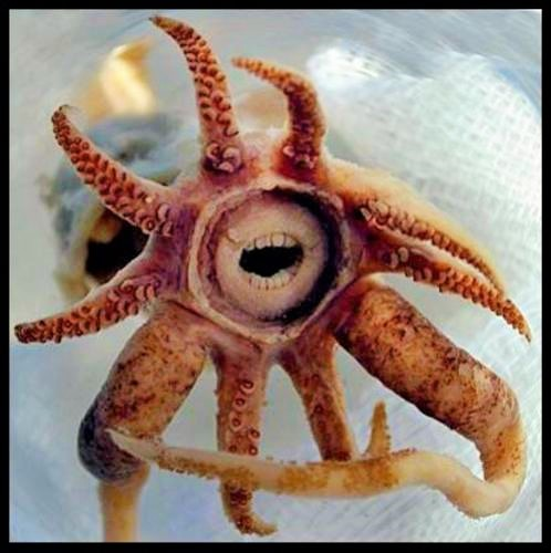Deep Sea Squid With Teeth True or False?