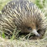 E is for Echidna Penises  : A-Z Collection of Animals