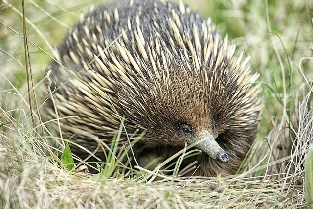 E is for Echidna Penises : A-Z Collection of Animals April 2015 Challange