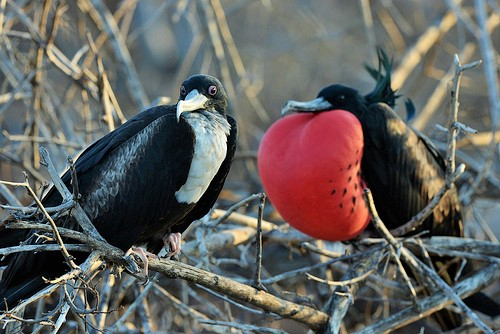 Magnificent Frigatebirds Facts