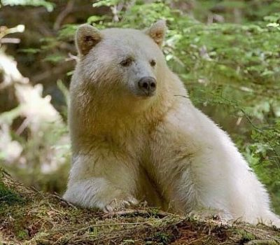 K is for Kermode Spirit Bear Facts, British Columbia, Canada