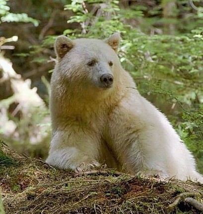Kermode Spirit Bear Facts, British Columbia, Canada