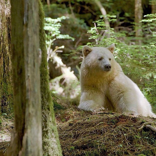 Kermode Spirit Bear, British Columbia, Canada