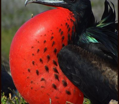 F is for Magnificent Frigatebirds : A-Z Collection of Animals