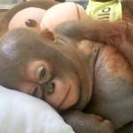 Baby Orangutans Budi and Jemmi –  Cuteness Alert