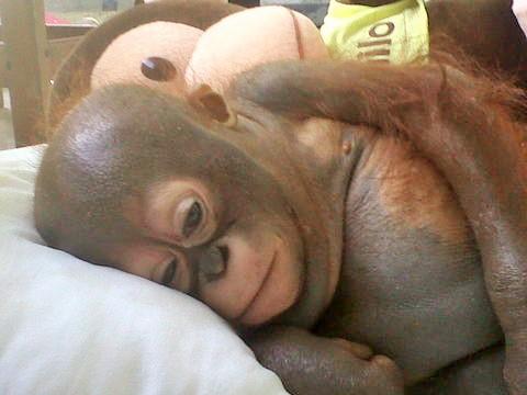 Baby Orangutans Budi and Jemmi - Cuteness Alert