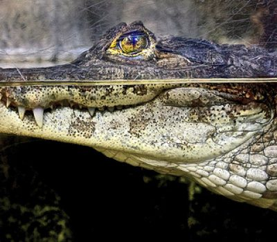 D is for Dwarf Crocodile Facts: A-Z Collection of Animals