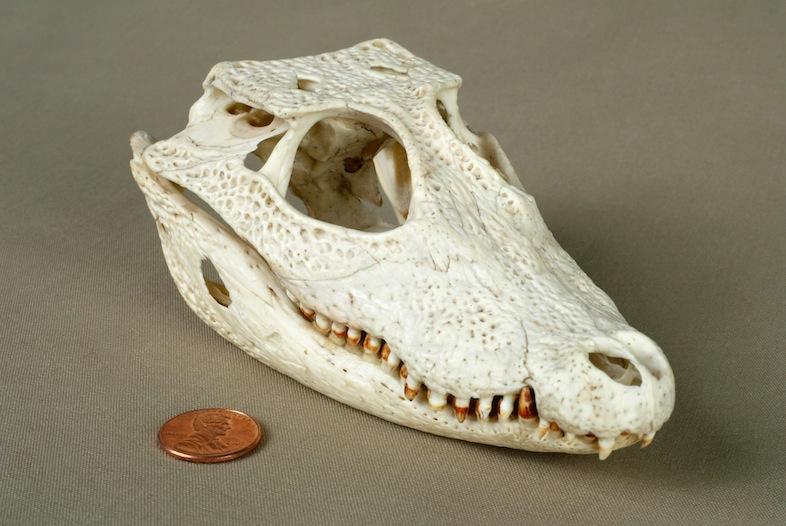 Dwarf Crocodile Skull